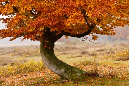 Autumn birch tree isolated agianst grey background photo
