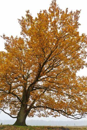 Autumn oak trees isolated agianst grey background photo