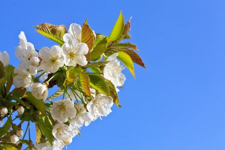 Apple blossom in bloom at a yard photo
