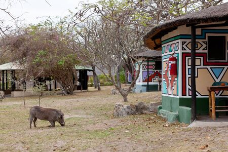 African warthog walking on a campsite photo