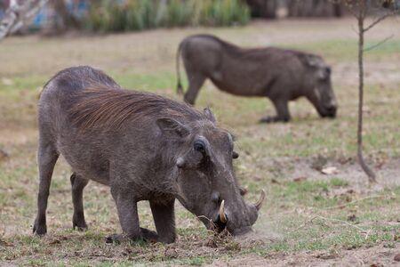 bush hog: Jabal�es africanos en sus rodillas en busca de alimento