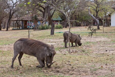 conservation grazing: African warthog on his knees searching for food Stock Photo