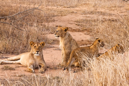 Lion family with cubs resting in the grass photo