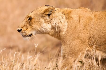 Female lion walking  through the grass in close up photo