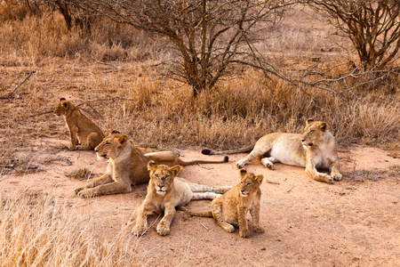 female lion: Lion family with cubs resting in the grass
