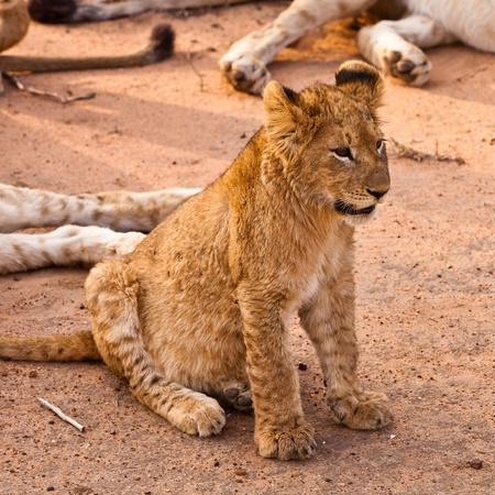 Baby cub lion sitting in the grass photo