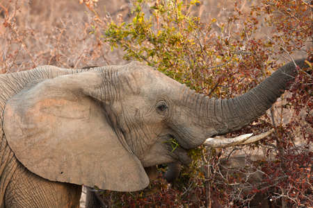 Elephant eating leaves from a tree at sunset Stock Photo - 11228283