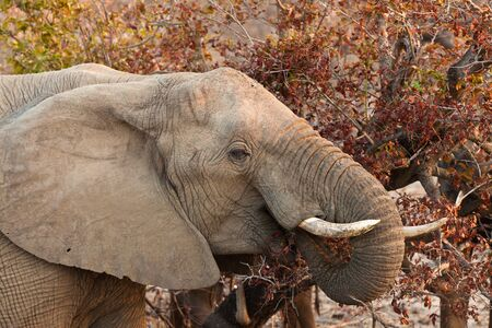 Elephant eating leaves from a tree at sunset Stock Photo - 11228280