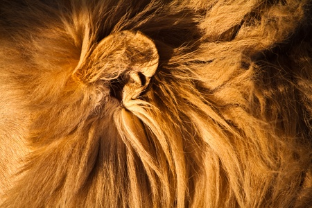 Male lion sleeping in close up photo