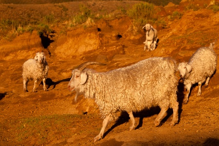 Goats in the glow of the  evening sun photo