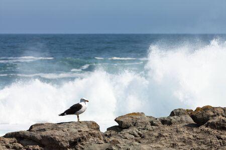 Seagull on the rocks of a rough coastline Stock Photo - 11409124