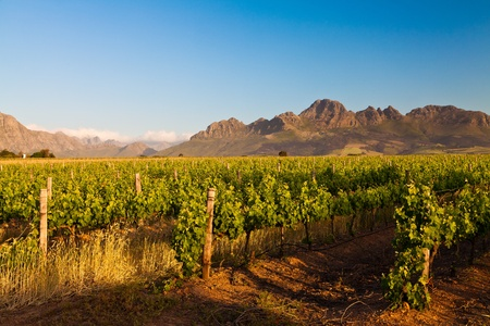 Vineyard in the hills of Stellenbosch in South Africa