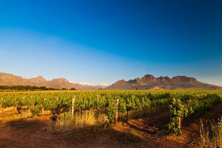 africa sunset: Vigneto nelle colline di Stellenbosch in Sud Africa