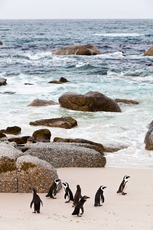 penguins on beach: Black-footed african penguins walking on the boulders beach