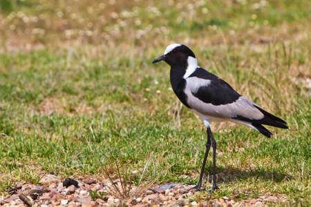 srokaty: Pied siewki Ptak idzie na trawie