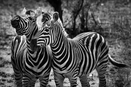 Two zebra animal in close up in the wild photo