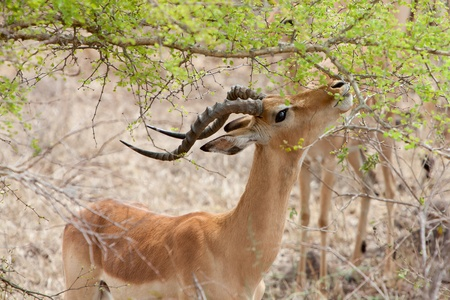 Grants gazelle eating leaves from an acacia tree