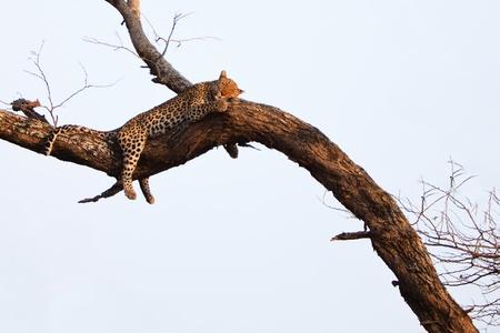 Leopard sleeping high in a tree photo