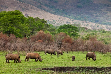 conservation grazing: White rhinoceros grazing between the bushes Stock Photo