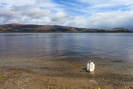 Swan in a lake in the highlands of Scatland photo