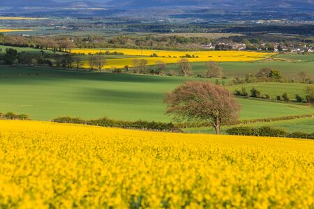 Landscape with tree in a field of rapeseed on a sunny day photo
