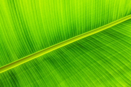 Texture background of backlit green banana leaf photo
