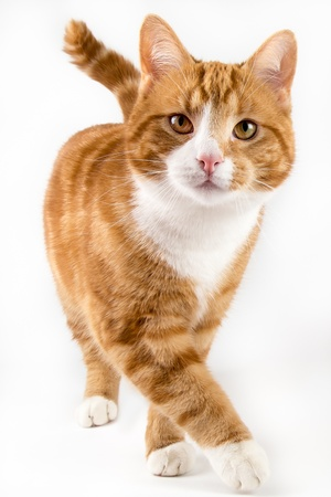 red male cat, walking towards camera, isolated in white Stock Photo