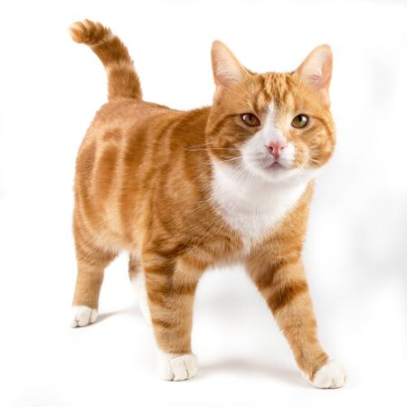 red male cat, walking towards camera, isolated in white Standard-Bild