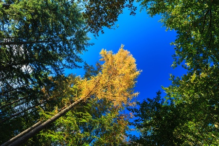 Yellow treetops in autumn forest with blue sky photo