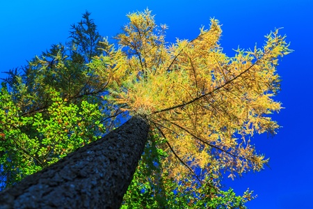 treetops: Yellow treetops in autumn colors with blue sky