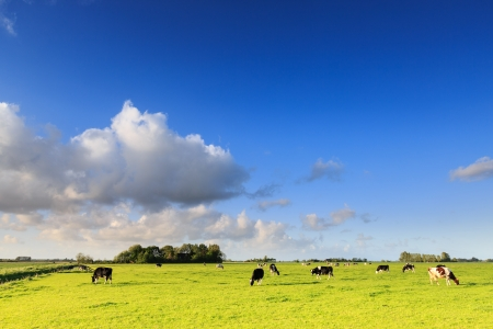 Cows grazing on a grassland in a typical dutch landscape on a suuny day Stock Photo