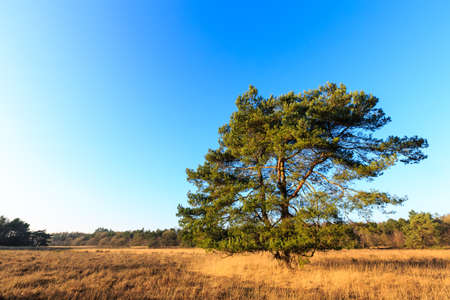 evening glow: Heath landscape with tree in evening glow in Holland
