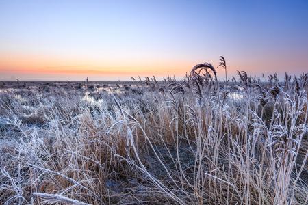 holland landscape: Hoar frost on reed in a winter morning landscape in Holland