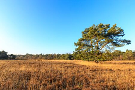 holland landscape: Heath landscape with tree in evening glow in Holland