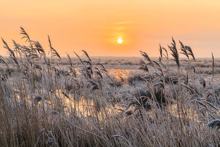 hoar frost: Hoar frost on reed in a winter landscape at sunset in Holland