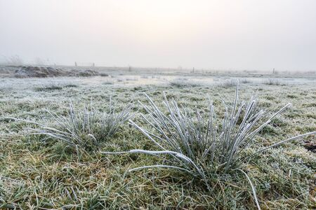 hoar frost: Close up of grass in a grassland with hoar frost on a winter day