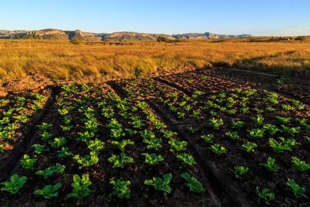 Der Anbau von Gemüse in einer afrikanischen Landschaft bei Sonnenaufgang
