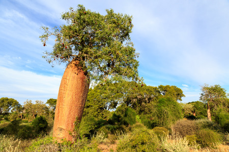Baobab-Baum mit Früchten und Blättern in einer afrikanischen Landschaft im Sommer