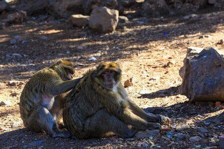 Barbary macaque couple sitting on the ground in Morocco