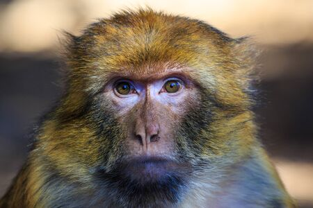 barbary: Barbary macaque seen in close up in Morocco