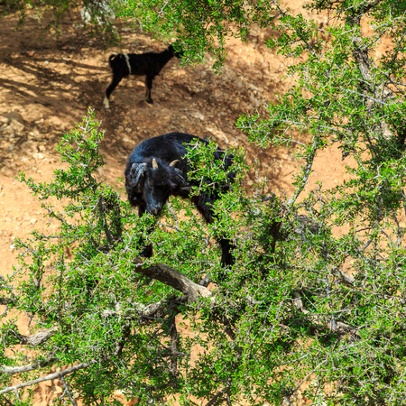 Goats climbing an argan tree to eat the argan nuts in Morocco