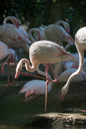 flamingo in zoo of thailand photo