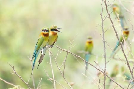 bee-eater bird Standard-Bild