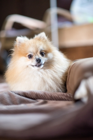 young happy Pomeranian in home photo