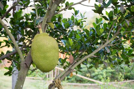Jackfruit on tree photo