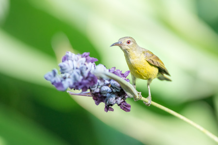 sunbird: Beautiful Sunbird and flower Stock Photo