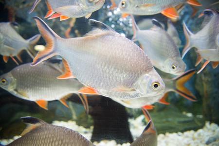 anubias: peces en el acuario