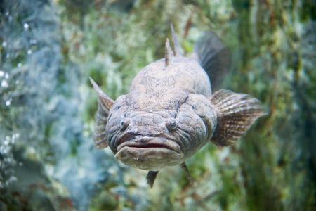 anubias: peces de Acuario