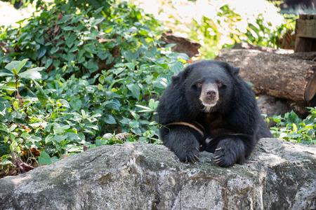 ursus: Asian black bear (Ursus thibetanus)