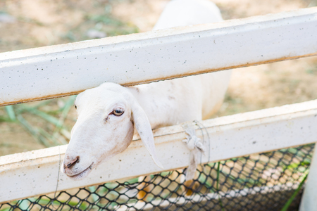 zoo youth: white sheep in the farm Stock Photo
